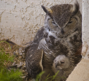 Great-Horned Owl Mom and Chick waiting for Dad to Return